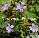 Герань узловатая (Geranium nodosum)