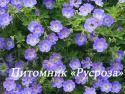 "Герань ""Rozanne"" (Geranium hybride)"