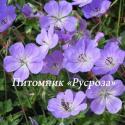 "Герань ""Azure Rush"" (Geranium hybride)"