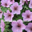 """Герань """"Joy"""" (Geranium hybride)"""