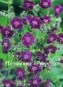 "Герань тёмно-бурая (Geranium phaeum) ""Samobor"""