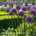 "Лук ""Globemaster"" (Allium)"