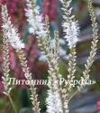 """Горец свечевидный (Persicaria amplexicaulis) """"Alba"""""""