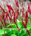"""Горец свечевидный (Persicaria amplexicaulis) """"Blackfield"""""""