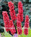 """Горец свечевидный (Persicaria amplexicaulis) """"Fat Domino"""""""