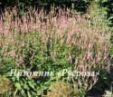 """Горец свечевидный (Persicaria amplexicaulis) """"Rosea"""""""