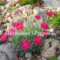 """Гвоздика серовато-голубая """"Badenia"""" (Dianthus gratianopolitanus)"""