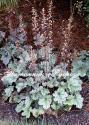 """Гейхера (Heuchera hybride) """"Silver Scrolls"""""""