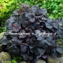 "Гейхера (Heuchera hybride) ""Obsidian"""