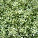 "Тимьян ранний ""Highland Cream"" (Thymus praecox)"