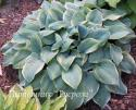 "Хоста ""Blue Flame"" (Hosta)"