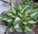 "Хоста ""Chain Lightning"" (Hosta)"