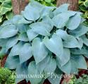 "Хоста ""Canadian Blue"" (Hosta)"