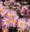 "Хризантема ""Clara Curtis"" (Chrysanthemum hybrida)"