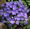 """Колокольчик карпатский """"Blaue Clips"""" (Campanula carpatica)"""