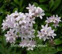 """Колокольчик молочноцветковый """"Loddon Anna"""" (Campanula lactiflora)"""