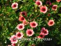 """Лапчатка непальская """"Miss Willmott"""" (Potentilla nepalensis)"""