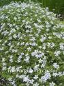 Лаурентия речная (Laurentia fluviatilis)