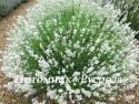 """Лаванда узколистная """"Arctic Snow"""" (Lavandula angustifolia)"""