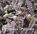 "Лептинелла шероховатая ""Platt's Black"" (Leptinella  squalida)"