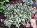"""Кочедыжник ниппонский (Папортник) """"Metallicum"""" (Athyrium niponicum)"""