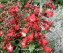 "Пенстемон Хартвега ""Polars Red"" (Penstemon hartwegii)"