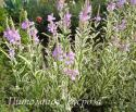 Физостегия виргинская variegata (Physostegia virginiana)