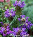 """Прунелла крупноцветковая (черноголовка) """"Bella Blue"""" (Prunella Grandiflora)"""