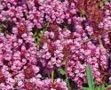 """Прунелла крупноцветковая """"Bella Pink"""" (черноголовка) (Prunella Grandiflora)"""