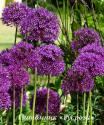 "Лук афлатунский ""Purple Sensation"" (Allium aflatunense)"