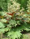 Ревень пальчатый тангутский (Rheum palmatum)