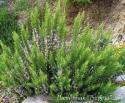 Розмарин лекарственный (Rosmarinus officinalis)