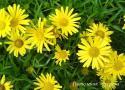 Телекия иволистная (Buphathalmum salicifolium)
