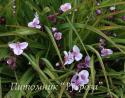 "Традесканция ""Bilberry Ice"" (Tradescantia)"