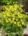 Вальдштейния тройчатая (Waldsteinia ternata)