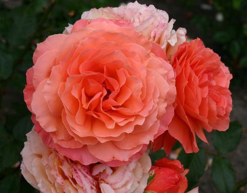 фото роза бельведер