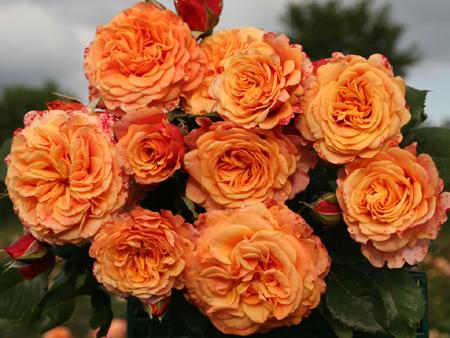 Ла вилла кота роза