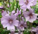 "Лаватера ""Lilac Lady"" (Lavatera thuringiaca)"