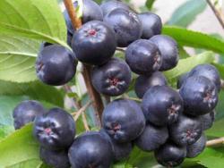 Рябина черноплодная (Арония) (Arónia melanocárpa)