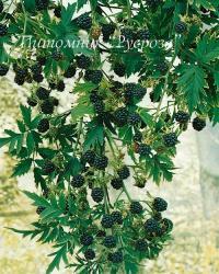 """Ежевика """"Thornless Evergreen"""" (Торнлесс Эвергрин)"""