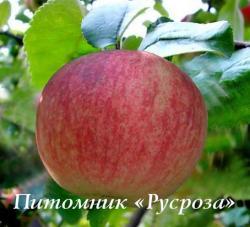 """Яблоня """"Конфетное-2"""""""