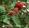 Рябина дуболистная (Sorbus quercifolia)