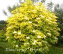 Бузина чёрная Aurea (Sambucus nigra Aurea)