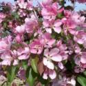 "Яблоня ""Макамик"" (Malus hybridus «Makamik»)"