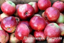 """Яблоня многосортовая """"Яблочный Спас, Легенда, Желанное, Услада"""""""