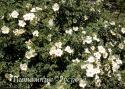 ROSA PIMPINELLIFOLIA (Роза пимпинеллифолия. Роза бедренцеволистная. Роза колючейшая.)