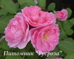 PRAIRIE JOY (Прэри Джой)