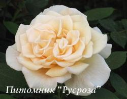 COMTESSA (Комтесса)