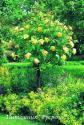 GRAHAM THOMAS (ENGLISH YELLOW) (Грэм Томас)