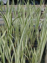 Аир болотный (Acorus calamus) variegatus